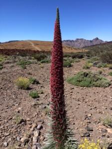 """Denne aparte kaktus-plante har jeg læst mig til hedder """"Juvel Slangehoved"""""""
